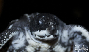 Baby Leatherback Turtle ready for a safe release. by Steven Anderson